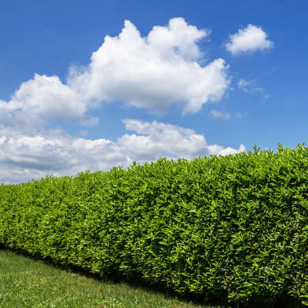Green hedge in a garden, with blue sky and white clouds as background. 版權商用圖片