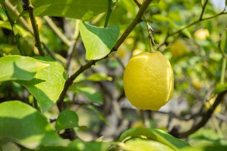 Lemon tree. Ripe lemon hangs on tree branch in a sunny day. Close Up.