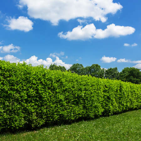 Hedge against the sky. Geen grass, hedge and amazing sky.