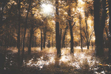 Vintage beauty autumn forest with sunrays in the morning. Retro style photo.