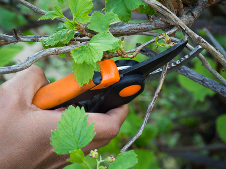 Pruning currant branches in the garden in the spring Stock Photo