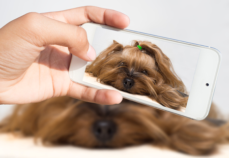 A womans hand holds a smartphone and takes a picture of a little dog 版權商用圖片