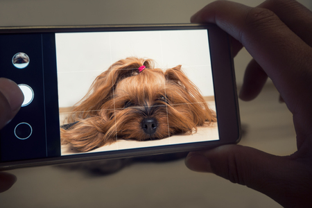 A womans hand holds a smartphone and takes a picture of a little dog