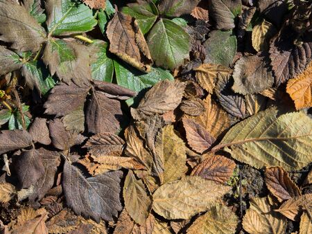 Old yellowed leaves. Dry autumn leaves on the ground Foto de archivo