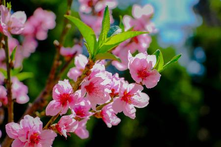 close up Sakura Thailand With clouds and bright sky.Prunus cerasoides