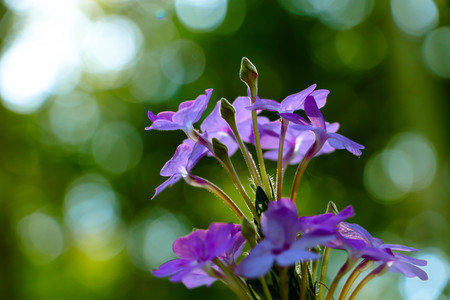 The Small violet flowers with the green nature,close up Standard-Bild