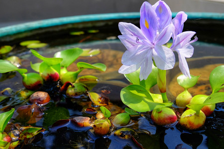 Purple flowers of water hyacinth In the green bath,Eichhornia crassipes(Common water hyacinth)