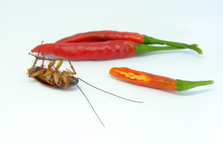A chili can chase cockroaches,Close up cockroach chili on isolated style. Stock Photo