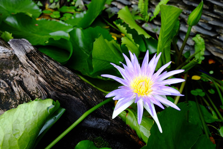 beautiful purple lotus flower and green lotus leaf is background,perple lotus flower is above the water in the pond and has a lotus leaf and wood