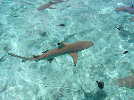 Shark nel Moorea atollo in Polinesia francese