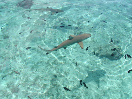 Shark in the Moorea atoll in French Polinesia Archivio Fotografico