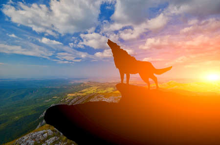 gray wolf: wolve on a mountain top