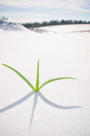 the germ of the young shoots breaking through the snow Stock Photo