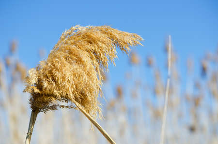 Dry reeds against the blue sky Stock Photo - 13134556