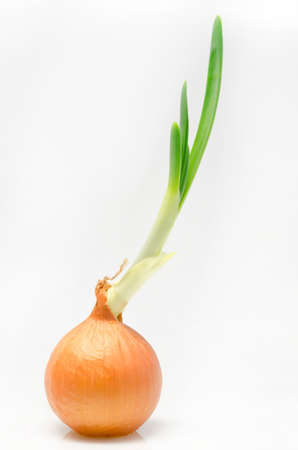 germinate: sprouted bulb onions on a white background