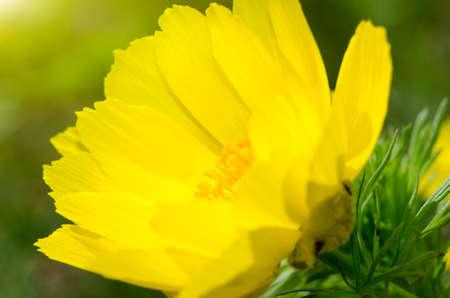 dissolved: sciolta fiore giallo su uno sfondo di erba verde