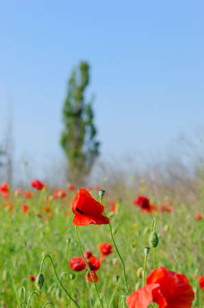 red poppies on a green lawn photo