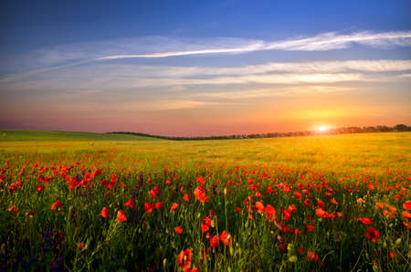 field with green grass and red poppies against the sunset sky Stockfoto
