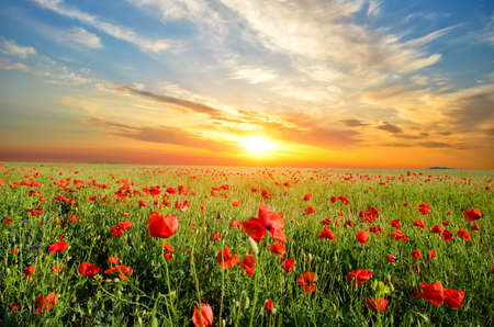 field sunset: field with green grass and red poppies against the sunset sky Stock Photo