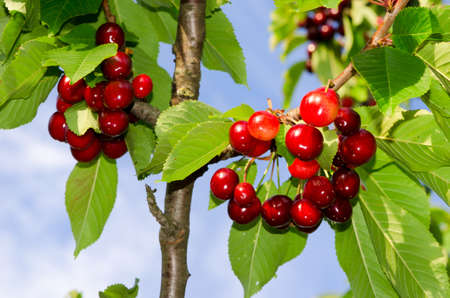 cherries on a branch with green leaves photo