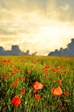poppy field: field with green grass and red poppies against the sunset sky Stock Photo