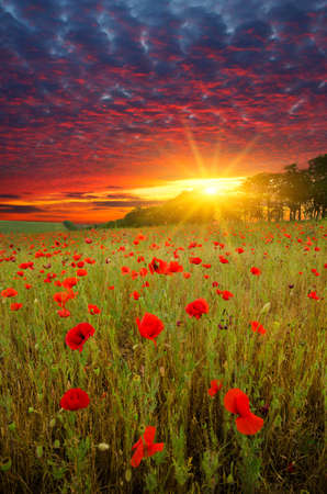 field with green grass and red poppies against the sunset sky 스톡 콘텐츠