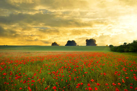 poppies: field with green grass and red poppies against the sunset sky Stock Photo