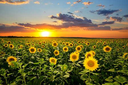zonnebloem: gebied van de bloeiende zonnebloemen op een achtergrond zonsondergang Stockfoto