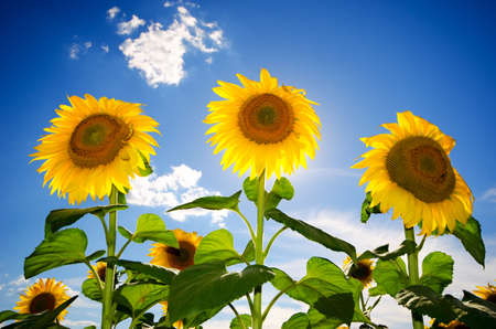 field of blooming sunflowers on a background of blue sky Stock Photo - 14311199