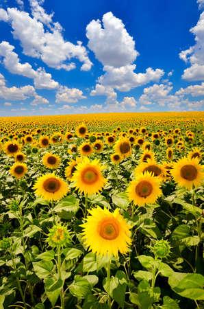 un champ de tournesols en fleurs contre un ciel coloré