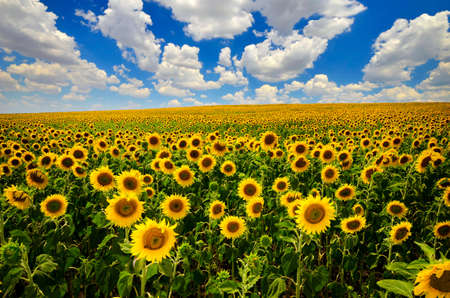 field of blooming sunflowers on a background of blue sky Stockfoto