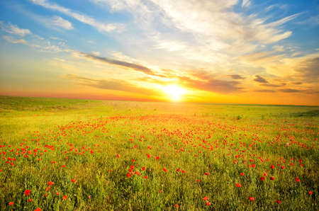 field with green grass and red poppies against the sunset sky Фото со стока