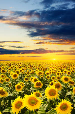 a field of blooming sunflowers against a colorful sky photo