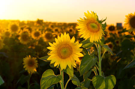 a field of blooming sunflowers against a colorful sky Stock Photo - 15239257