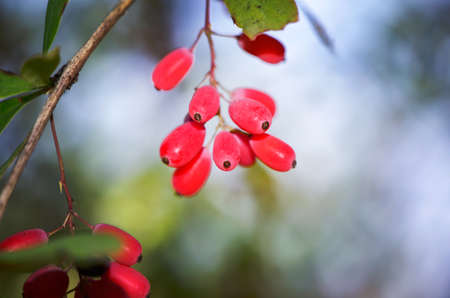 red berries growing on a branch photo