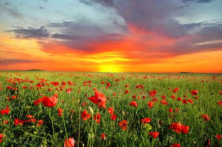 mák: Pole s zelené trávy a červené vlčí máky proti západu slunce na obloze