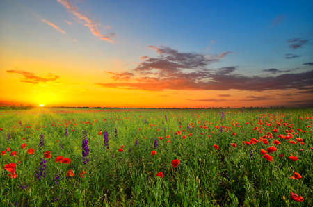 field with green grass and red poppies against the sunset sky photo