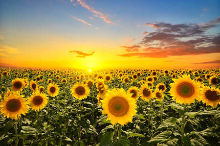field of blooming sunflowers on a background sunset 스톡 콘텐츠