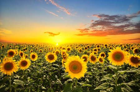 Campo di girasoli in fiore su uno sfondo tramonto Archivio Fotografico - 21465039