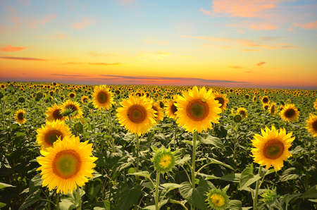 field of blooming sunflowers on a background sunset photo
