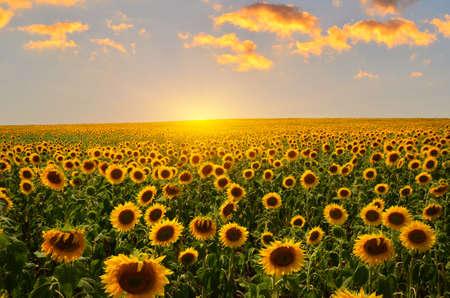 背景の夕日に咲くひまわり畑