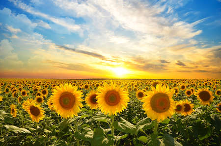 field of blooming sunflowers on a background sunset Foto de archivo