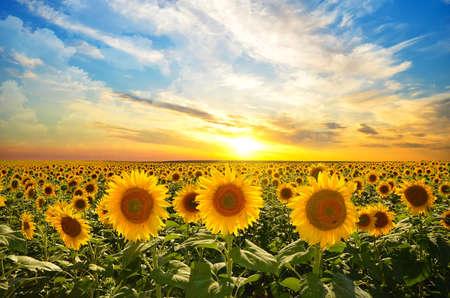 sunrise: Feld von blühenden Sonnenblumen auf einem Hintergrund Sonnenuntergang