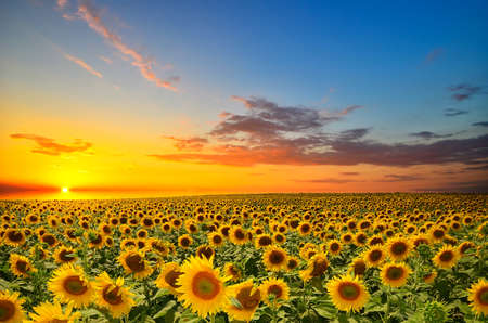 field sunset: field of blooming sunflowers on a background sunset Stock Photo
