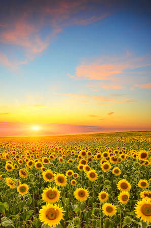 field of blooming sunflowers on a background sunset Stock Photo