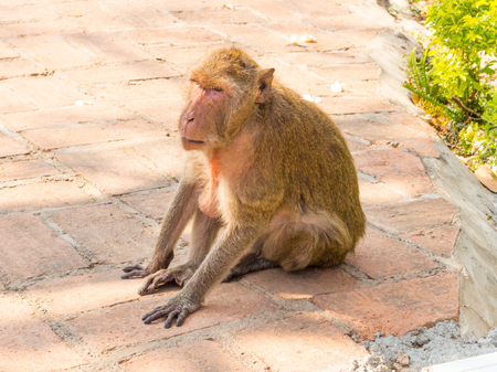 macaque: Long-tailed macaque monkey Stock Photo