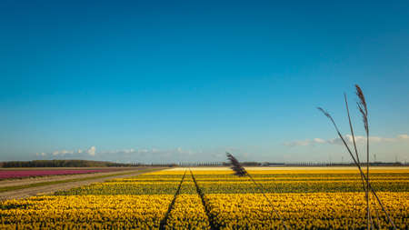 Dutch tulip field with yellow tulips under a bright blue evening sky