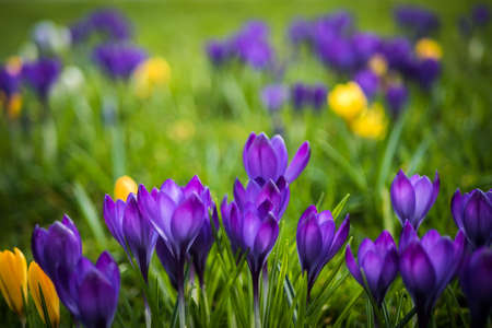 Lots of purple and yellow crocuses in a green grass field Stock Photo