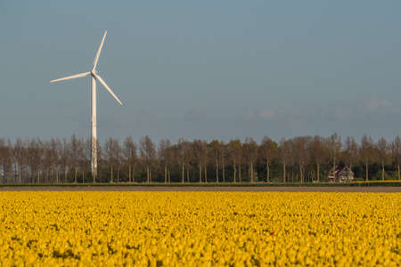 Wind turbine behind a field with yellow tulips in a Dutch polder. Stock Photo