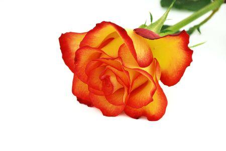 Isolated valentine rose on white background.